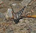 Common Mime (Papilio clytia- dissimilis form) at Jayanti, Duars, West Bengal W Picture 202.jpg
