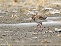 Common Redshank (Tringa totanus) (35634213872).jpg