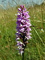 Common Spotted-orchid (Dactylorhiza fuchsii).jpg