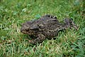 Common Toad (Bufo bufo) - geograph.org.uk - 548790.jpg