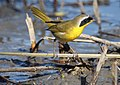 Common Yellow Throat (Male) (11160147215).jpg
