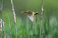 Common Yellowthroat (8944759853).jpg