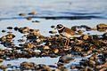 Common ringed plover lake geneva-3.jpg