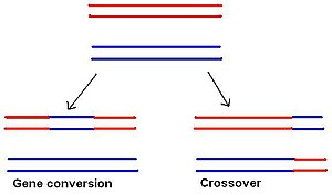 Chromosomal crossover - The difference between gene conversion and chromosomal crossover.