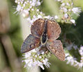 Copper Butterfly 2 (3837315363).jpg