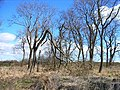 Copse in winter - geograph.org.uk - 150145.jpg