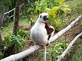 Coquerel's Sifaka, Madagascar.jpg