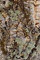 Cork bark with lichen - Flickr - gailhampshire.jpg