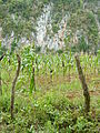 Corn Growing in Pinar del Rio Province - Cuba.JPG