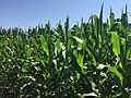 Corn field in central New York2.jpg
