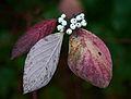 Cornus alba A.jpg