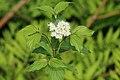 Cornus sericea sericea UL 04.jpg