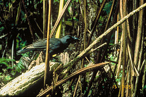 Hawaiian crow - The Hawaiian crow has been extinct in the wild since 2002.