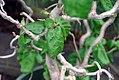 Corylus avellana Contorta 0zz.jpg