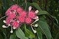 Corymbia ptychocarpa buds.jpg