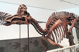 Corythosaurus - ROM 845, mounted skeleton of Corythosaurus cf. intermedius cf. excavatus Parks 1935 at the Royal Ontario Museum