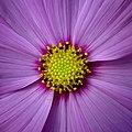 Cosmic flower.jpg