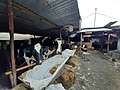 Cow shed in kathmandu.jpg