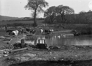 Cows at periphery of a pond with geese and ducks swimming