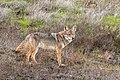 Coyote Near the Corral in Santa Teresa County Park (49223681302).jpg