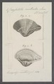 Crassatella rostrata - - Print - Iconographia Zoologica - Special Collections University of Amsterdam - UBAINV0274 079 09 0003.tif