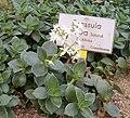 Crassula lactea BotGardBln271207B.jpg
