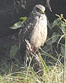 Crested Serpent Eagle Spilornis cheela by Dr. Raju Kasambe DSCN7649 (10).jpg