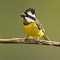 Crested Shrike-tit female - Camden.jpg
