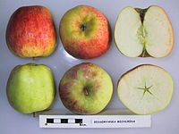 Cross section of Bessemyanka Michurina (MMI06), National Fruit Collection (acc. 1976-103).jpg
