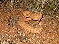 Crotalus oreganus concolor 01.jpg