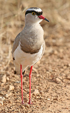 Crowned Lapwing (Vanellus coronatus) Mikumi shadow lift.jpg