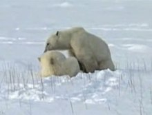 ファイル:Cub polar bear is nursing 2.ogv