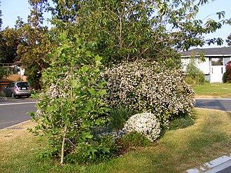 Escallonia - A flowering Escallonia cultivar dominates the center of this cul-de-sac in Sidney, British Columbia.