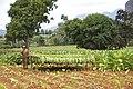 Culture et récolte du tabac.jpg