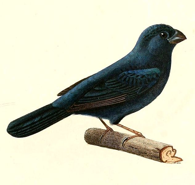 File:Cyanoloxia glaucocaerulea 1847.jpg