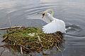 Cygnus olor, nests with eggs, Höckerschwan mit Nest 4.JPG