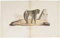 Cynocephalus leucophaeus - 1818-1842 - Print - Iconographia Zoologica - Special Collections University of Amsterdam - UBA01 IZ20100088.tif