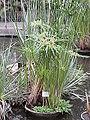 Cyperus papyrus3.jpg