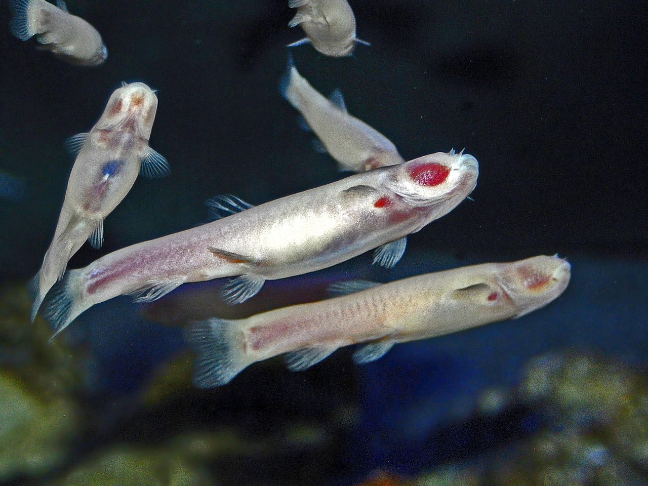peixe cego