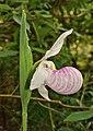 Cypripedium reginae - Presqu'ile2.jpg