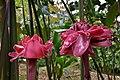 DSC 4212 Rose de Porcelaine, Forêt de Coeur Bouliki Saint-Joseph Martinique.jpg