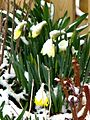 Daffodils in the snow. (5639411921).jpg