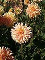 Dahlia Hybr GraefinCosel BotGardBln0906d.JPG
