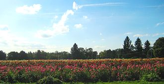 Willamette Valley - A field of Dahlias near Canby