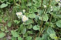 Daisies and plantains (NH Doly) (31947175432).jpg