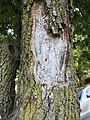 Damage to Ash from Buprestidae.jpg