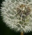 Dandelion Stalk and Seeds (2596782801).jpg