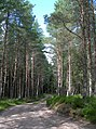 Darnaway Forest Track - geograph.org.uk - 518019.jpg
