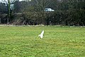 Daventry, blackheaded gull on Easter Way playing field - geograph.org.uk - 1765834.jpg