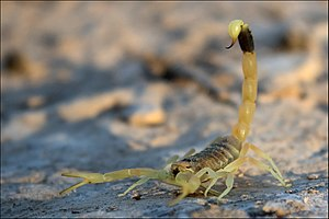 Deathstalker - Deathstalker in Negev Desert, Israel.